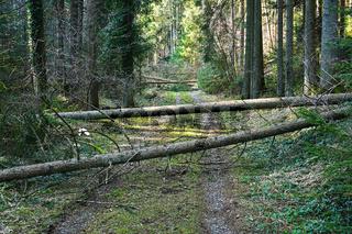 Umgestürzte Bäume im Fichtenwald infolge Sturmeinwirkung