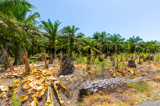 Costa Rica, deforestation of coconut palms