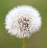 Dangelion flower