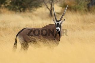 Oryx Antilope / Spießbock