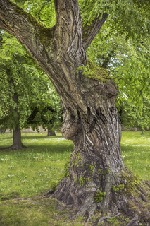 Der alte Baum (Schloßpark Merseburg) L1005202.jpg