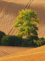 Rolling fields after harvest with drawers of trees in South Moravia