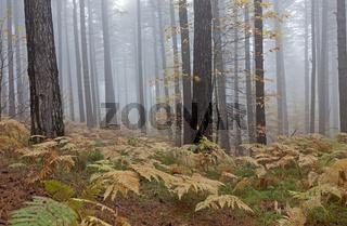 Herbstwald mit Nebel