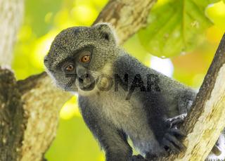 White-throated Monkey (cercopithecus albogularis) in a tree, Kenya, Africa