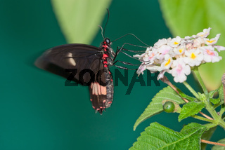 Butterfly drinks nectar