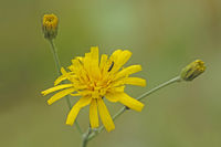 Hawkweed with beetle