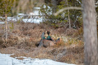 Fighting display male Capercaillie - Tetrao urogallus - forest in Norway