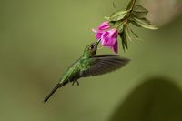 Green-crowned brilliant feeding in flight from a blooming flower head
