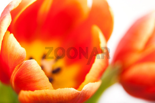 background bud of red tulip with pistil in close-up