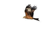 Red kite flying in the air isolated on white background