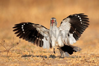 Red-billed hornbill landing