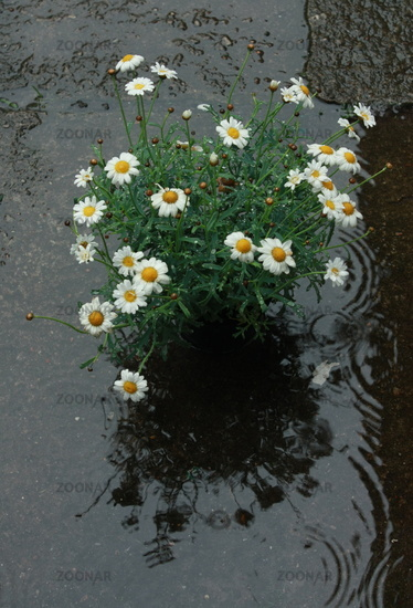 Marguerites flower pot rain