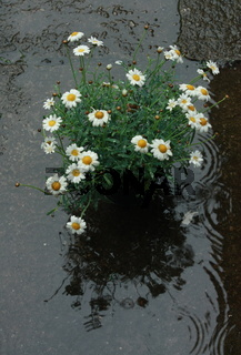 Margeriten Blumentopf  Regen