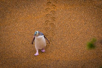 Yellow-eyed penguin (Megadyptes antipodes) in New Zealand