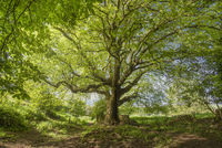 Large pretty old maple tree in a rural landscape