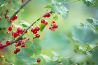 Ripe red currant on bush