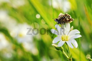 Kleiner Würfel-Dickkopffalter auf weißen BlumenIII