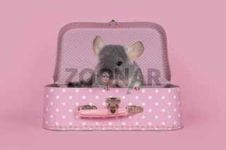 Cute grey chinchilla sitting in a pink suitcase on a pink background