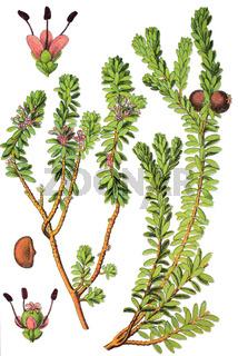 ie Schwarze Krähenbeere Empetrum nigrum ist ein immergrüner Zwergstrauch mit essbaren schwarzen Beeren