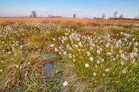 woolgras in a german bog