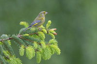 A male European Greenfinch rests on the branch of a spruce tree / Chloris chloris