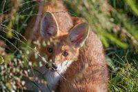 Portrait of a red fox, Vulpes vulpes