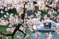 Full bloom of the cherry tree and the duck boat (Inokashira Park)