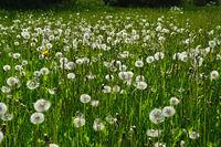 dandelion meadow, lion's-tooth, hawkbit,