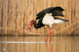 Black stork hunting in water in springtime nature.