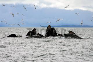 Gruppe von Buckelwalen