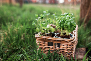 Gardening concept, mint and basil in metal pots and wooden basket in the garden