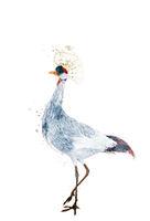 Watercolor grey crowned crane