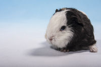 guinea pig baby with white head