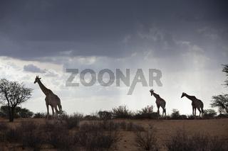 Angola-Giraffe, Namibia