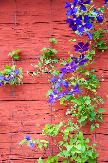 Purple Clematis beside a wooden house