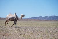 A camel in desert of Western Mongolia