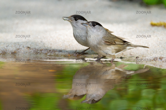 A pair of male eurasian blackcap refreshing and drinking water from shore