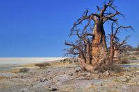 Baobab, Makgadikgadi Pans National Park, Botswana