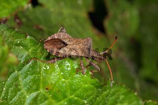 Coreus marginatus, Lederwanze, dock bug