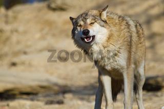 Timberwolf oder Amerikanischer Grauwolf (Canis lup