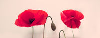 Two red poppies in bright evening light.
