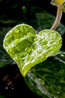 leaf in heart shape