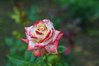 Rose in the garden in summer