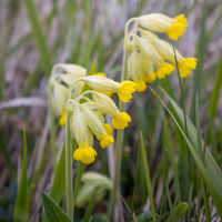 Cowslip (Primula veris) beginning to flower in Sussex