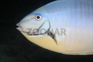 Blauklingen-Nasendoktor, Sleek Unicornfish, Naso hexacanthus
