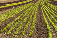 Lettuce field on Reichenau Island, Lake Constance, Baden-Wuerttemberg, Germany
