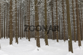 Schneefichten