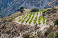 Vineyard on a hillside in Cyprus