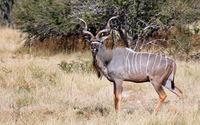 Greater Kudu in Namibia, Etosha NP, Tragelaphus strepsiceros