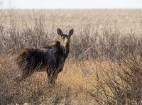 Wild Moose Saskatchewan